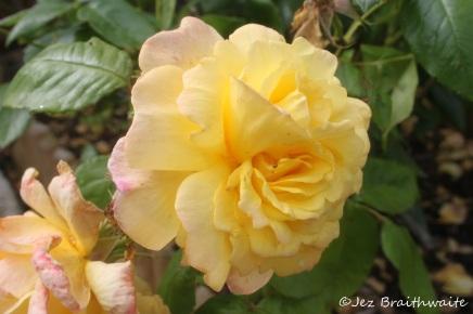 Rose p