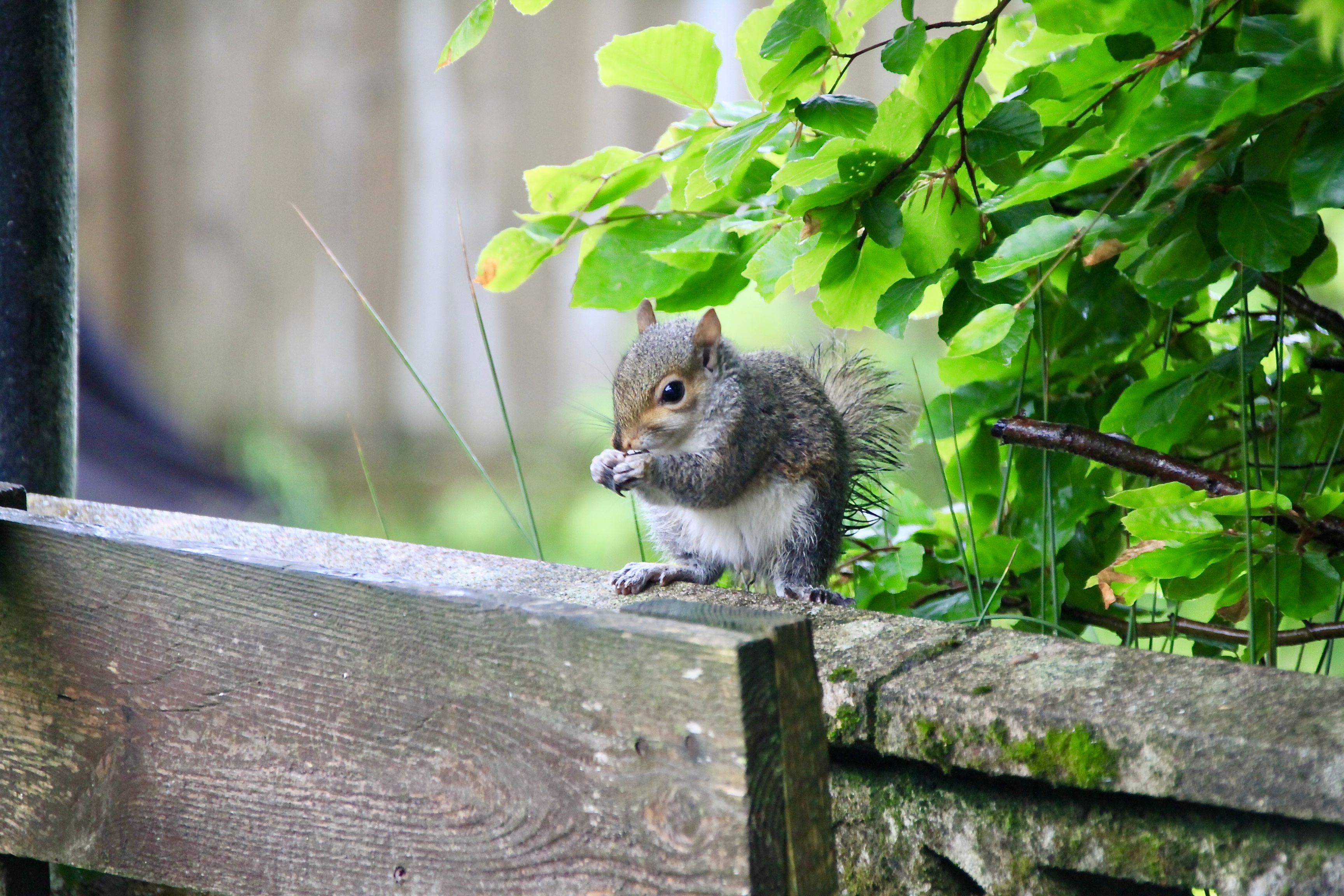 Young squirrel by Jez Braithwaite