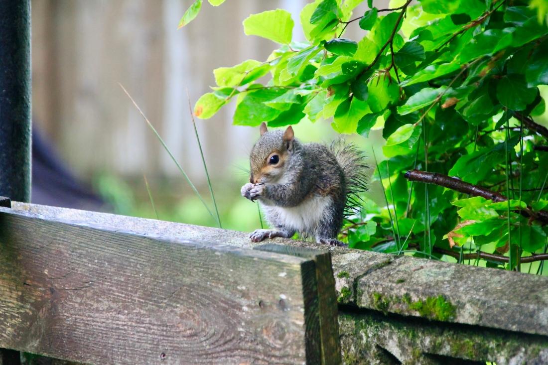 Young squirrel by Jez Braithwaite