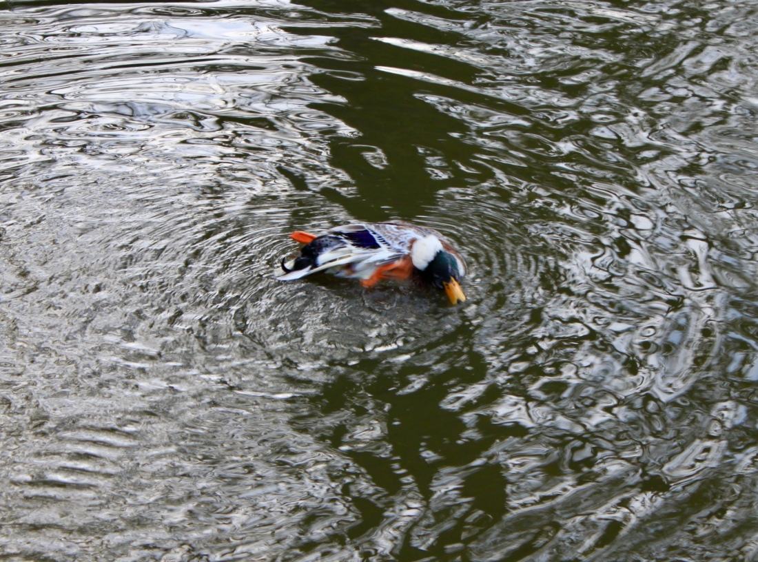 Duck at Palacerigg Country Park by Jez Braithwaite