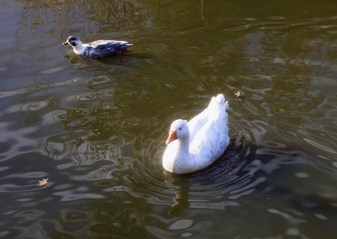 Goose at Palacerigg Country Park by Jez Braithwaite