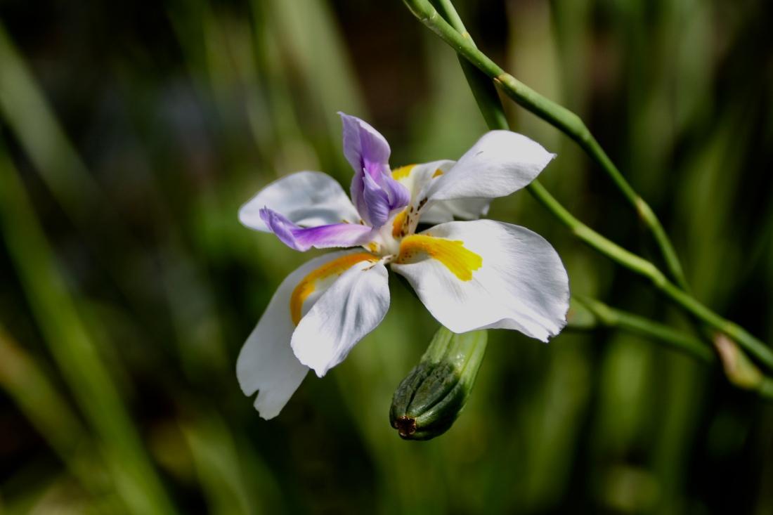 White African Iris by Jez Braithwaite
