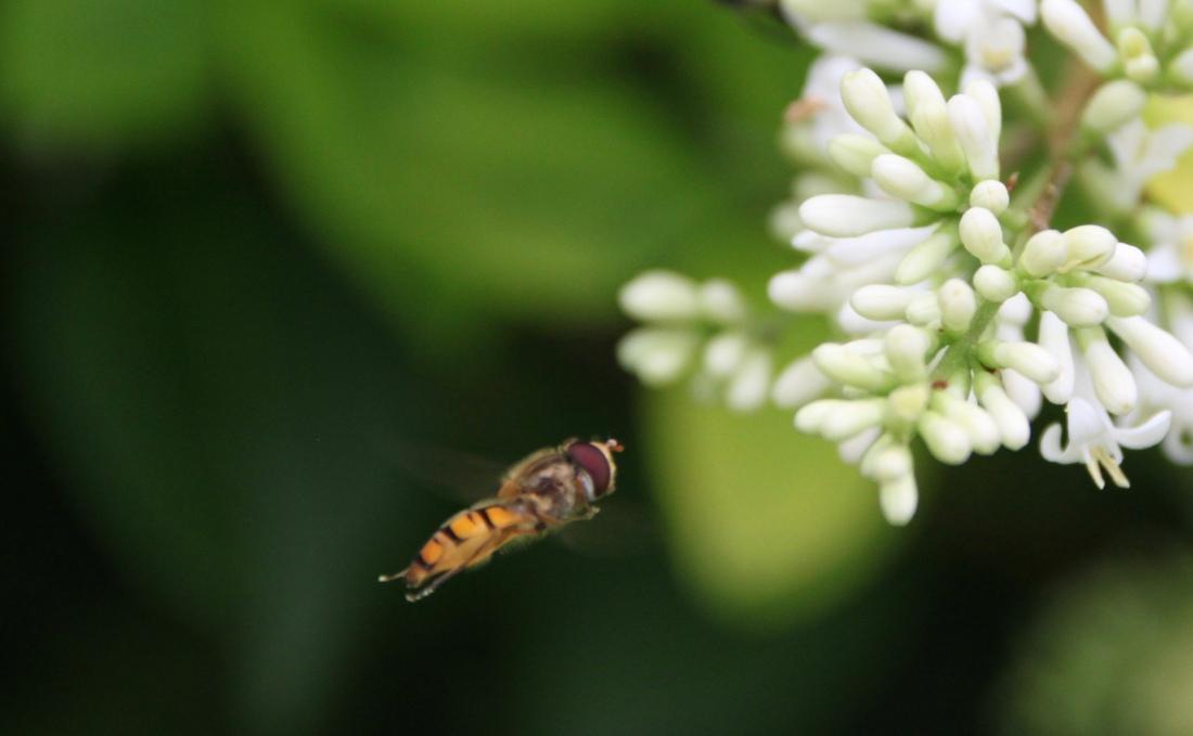 Hover fly in flight by Jez Braithwaite