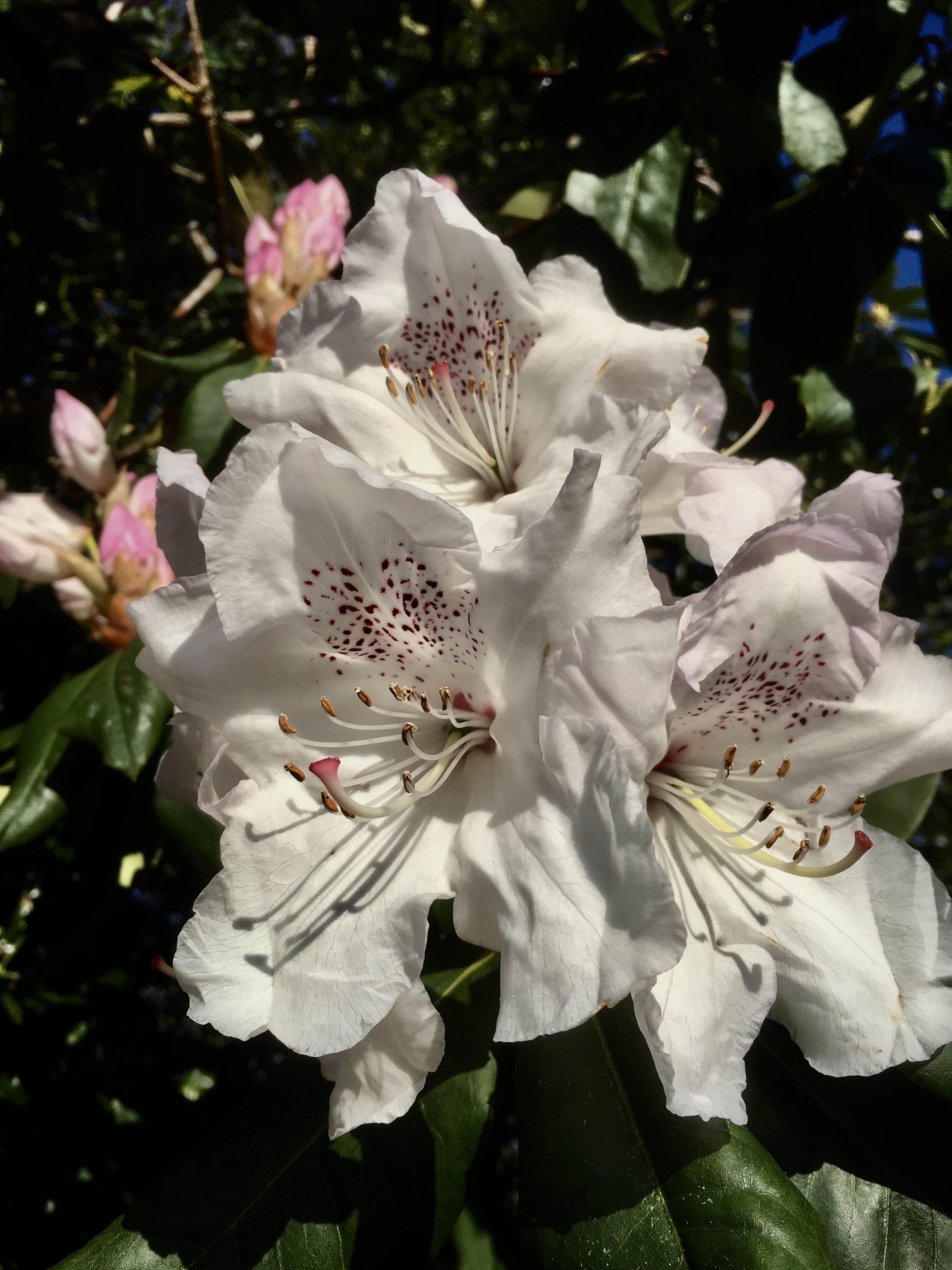 White Rhododendron in Cumbernauld by Jez Braithwaite