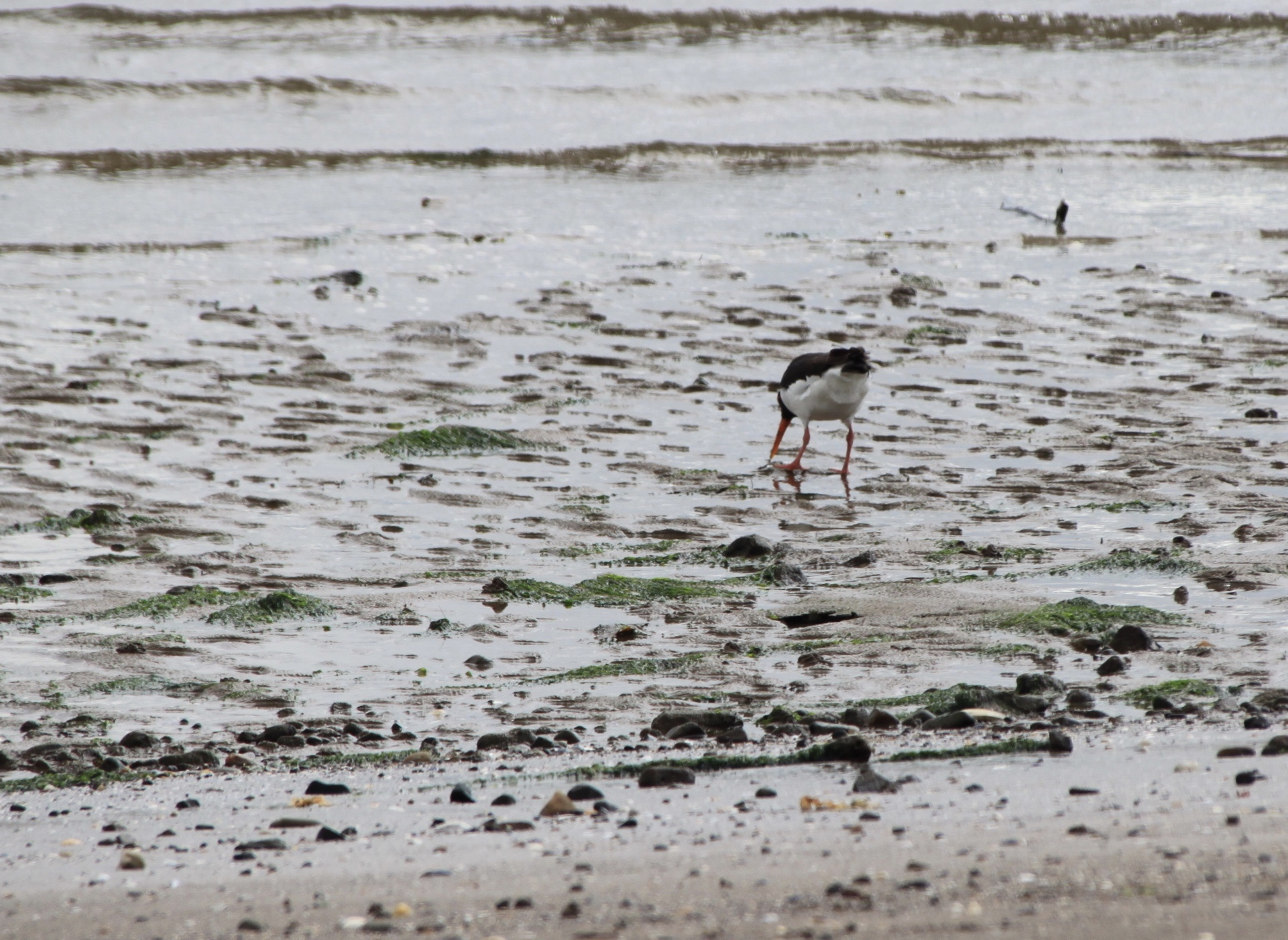 Eurasian Oyster Catcher on Broughty Ferry Beach by Jez Braithwaite