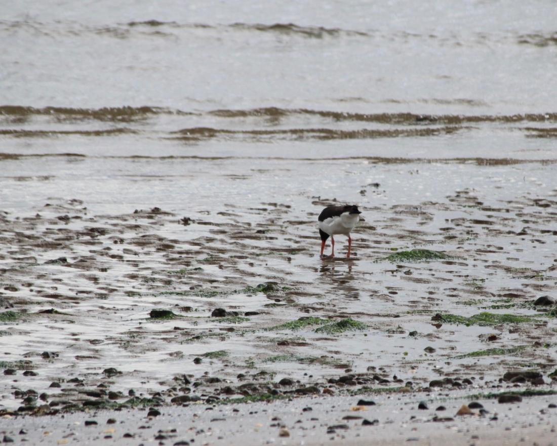 Eurasian Oyster Catcher on Broughty Ferry Beach by Jez Braithwaite
