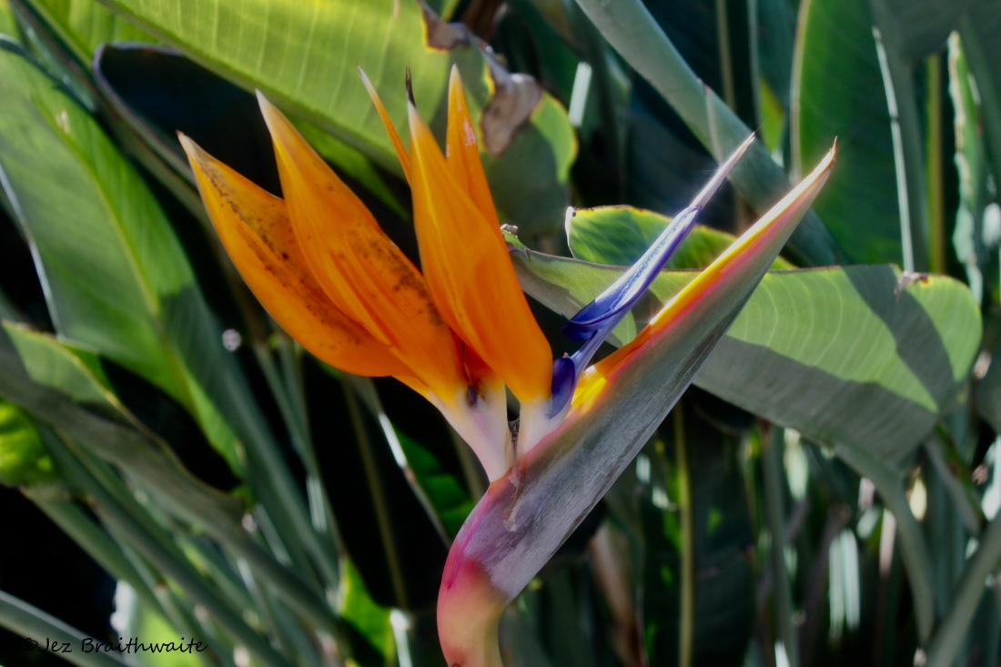 Bird of Paradise by Jez Braithwaite