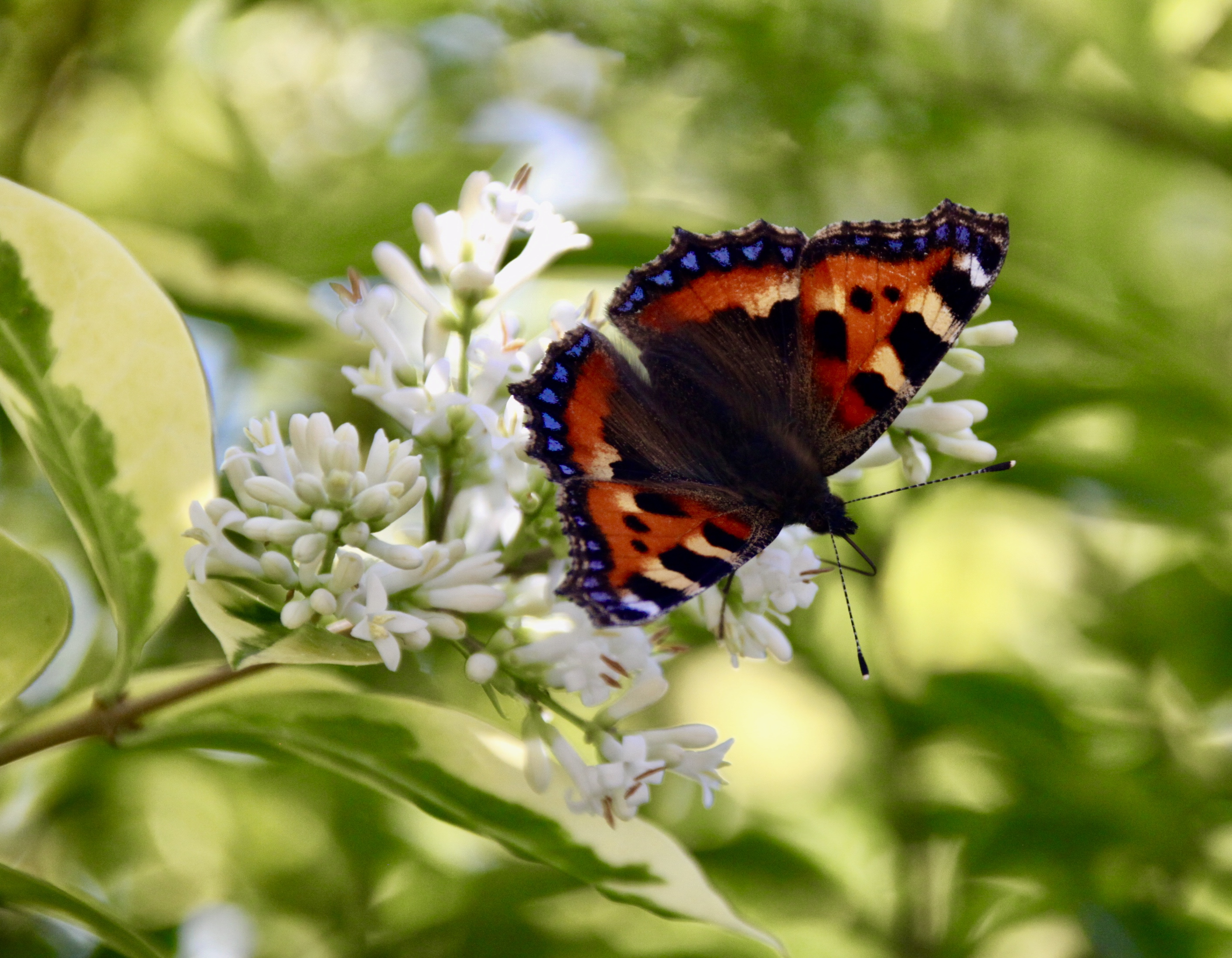 The small tortoiseshell butterfly by Jez Braithwaite