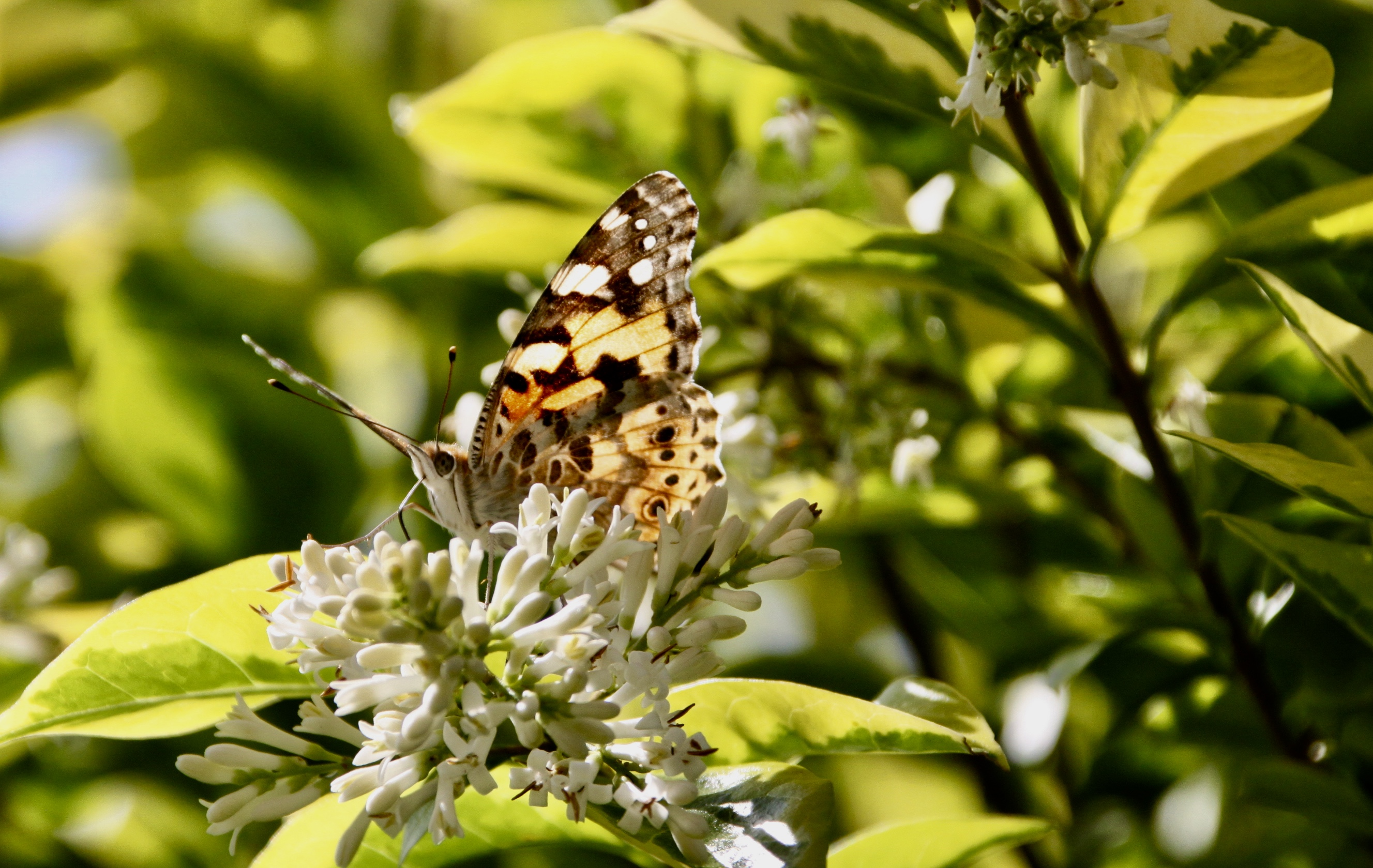 Painted Lady Butterfly by Jez Braithwaite