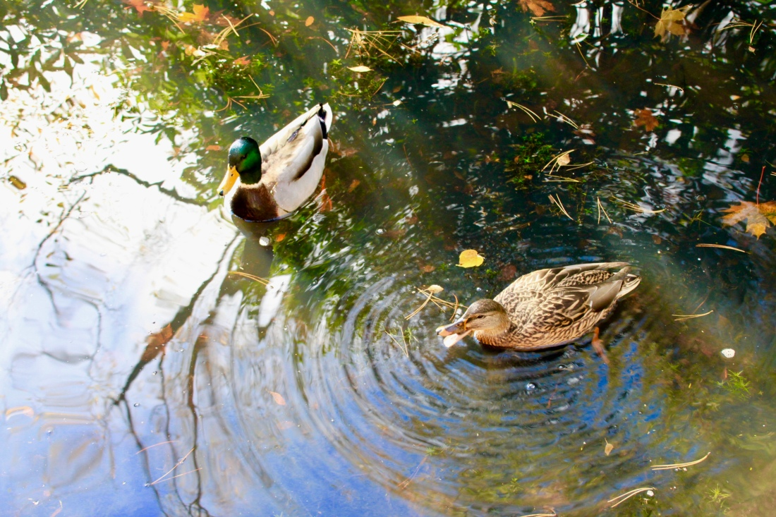 Mallard Ducks by Jez Braithwaite at Pollock Country Park