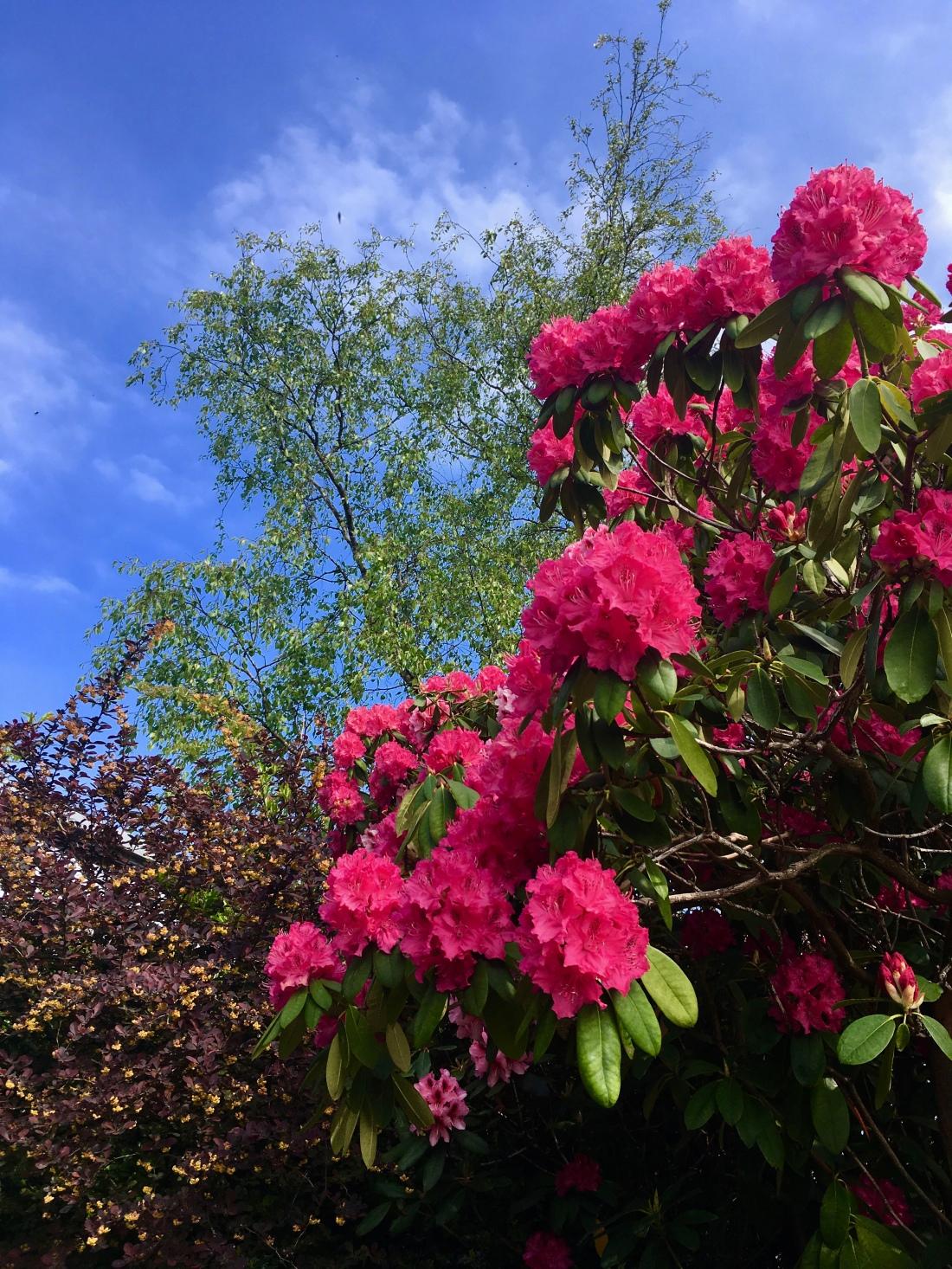 Pink Rhododendrons bt Jez Braithwaite