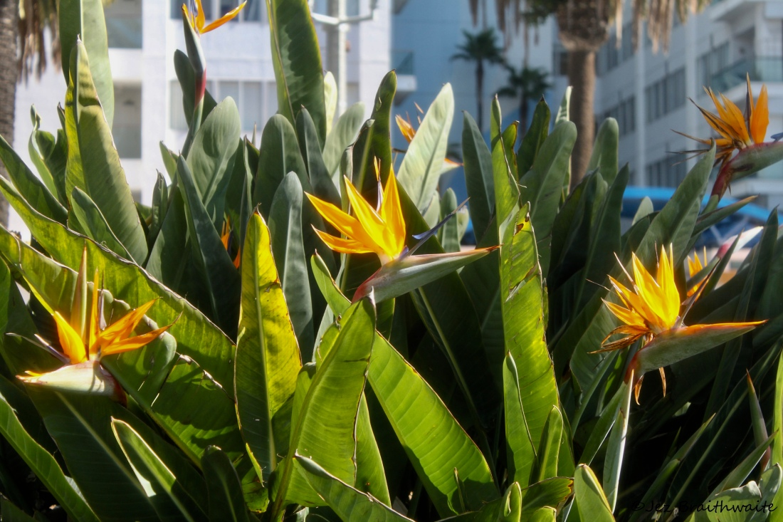 Birds of Paradise by Jez Braithwaite on Ocean Avenue, Santa Monica