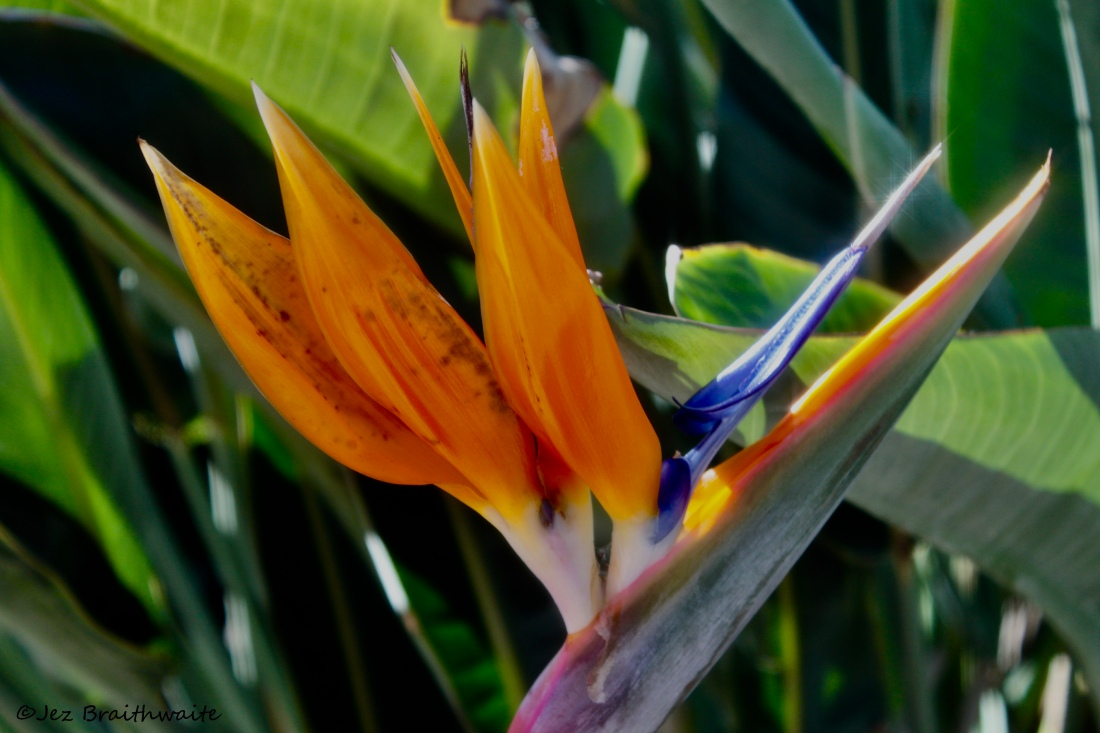 Birds of Paradise in Ocean Park, Santa Monica