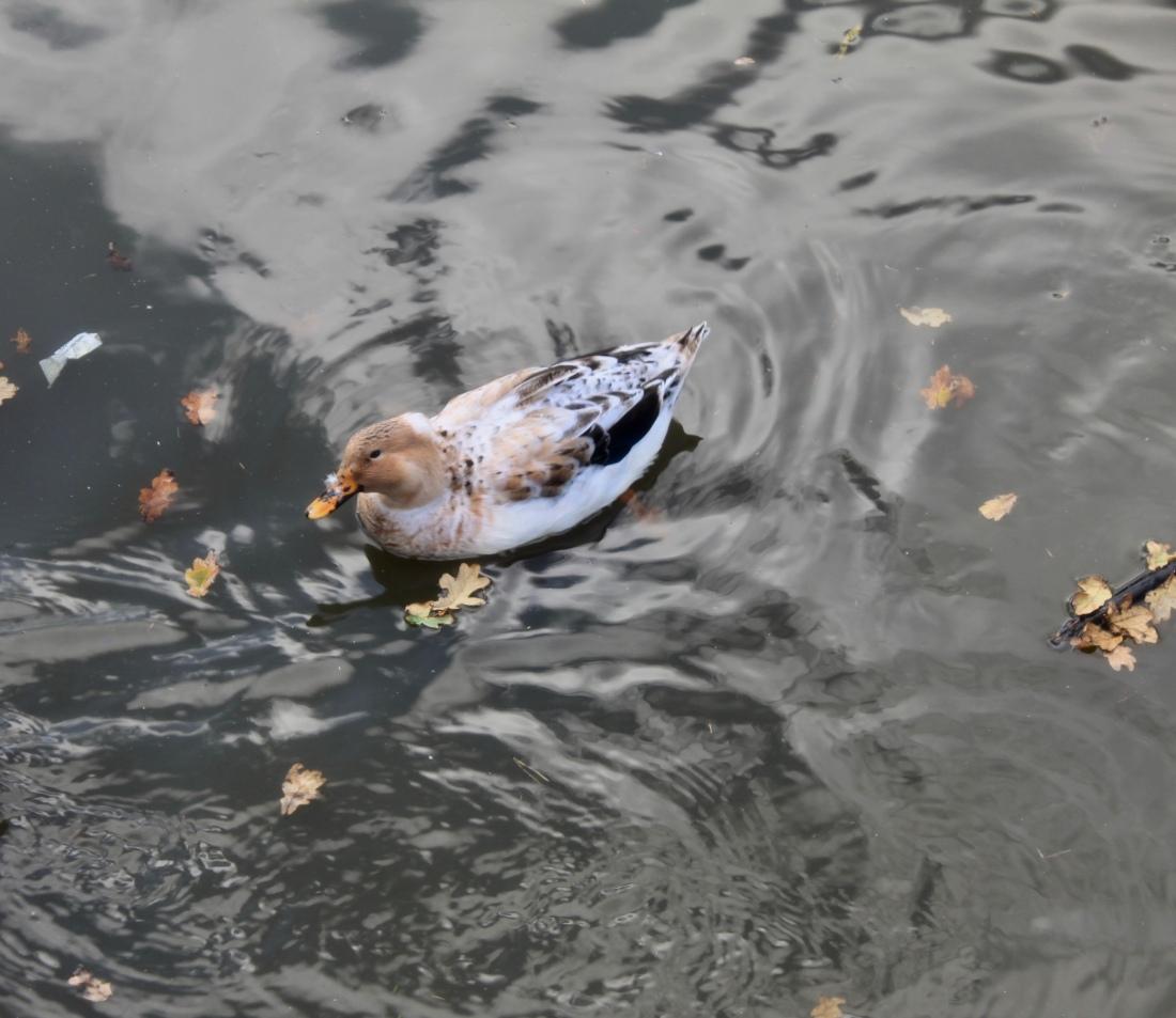 Crested Duck or Albino Mallard by Jez Braithwaite