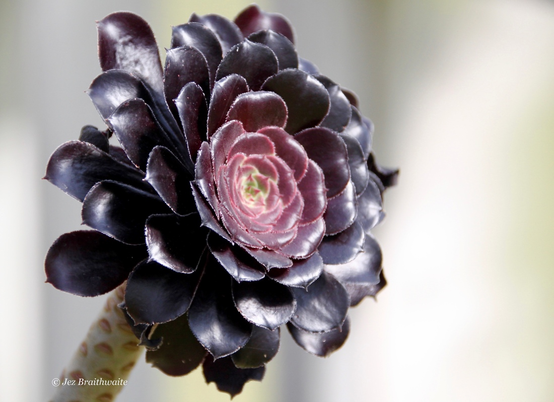 Black succulent by Jez Braithwaite in Kibble Palace Glasgow Botanic Gardens