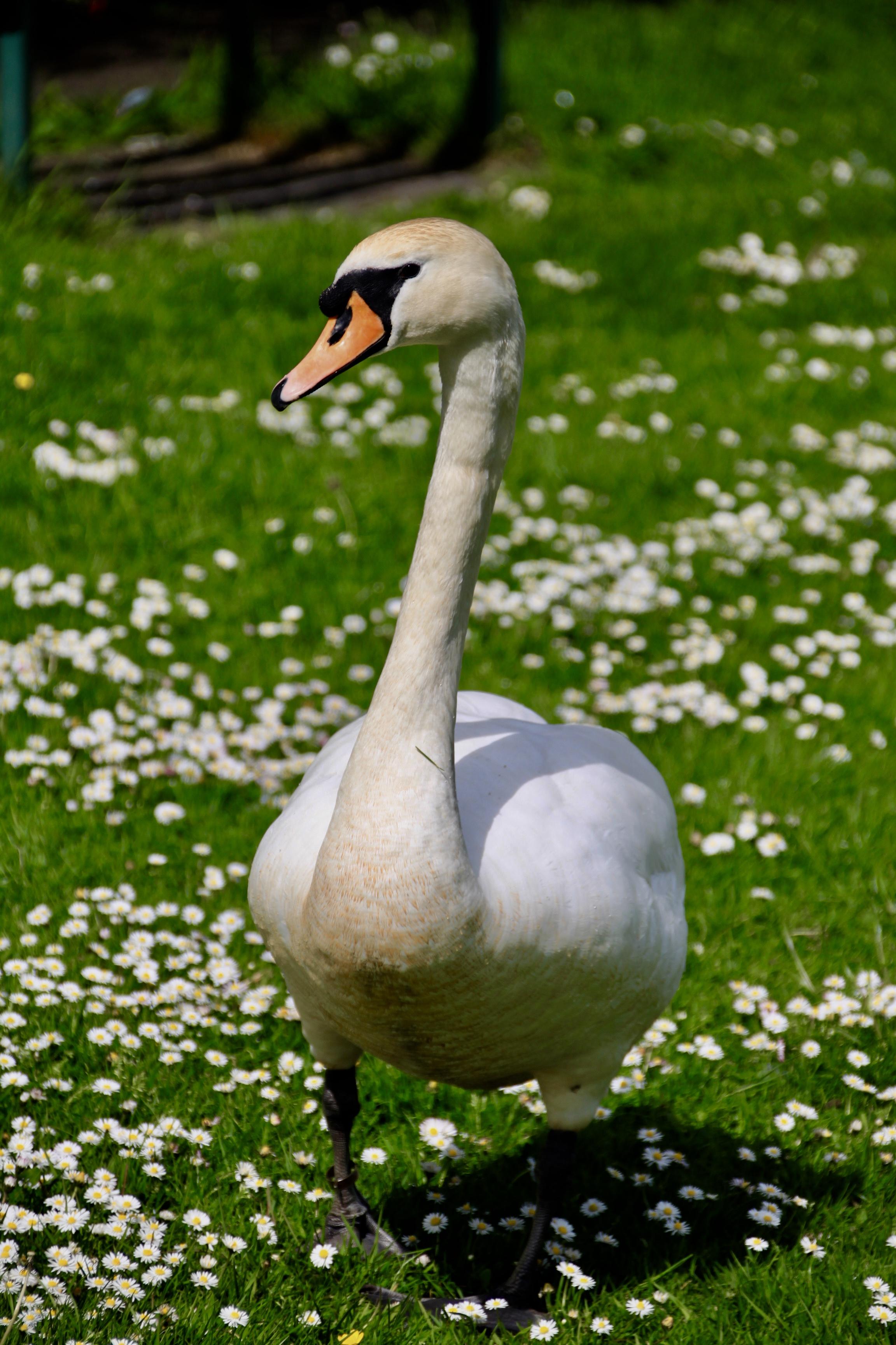 Swan by Jez Braithwaite at Broadwood Loch