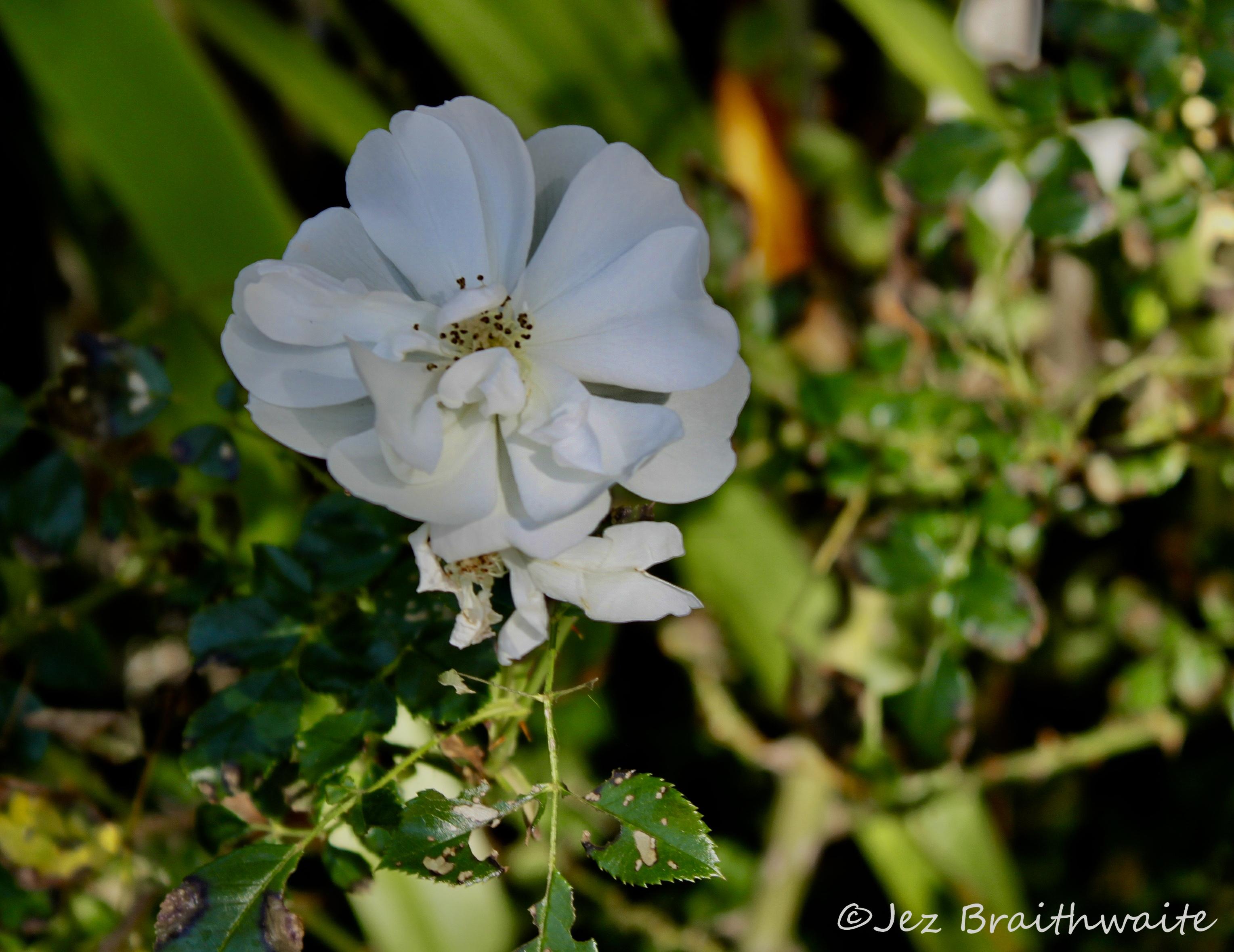 Wild white rose by Jez Braithwaite