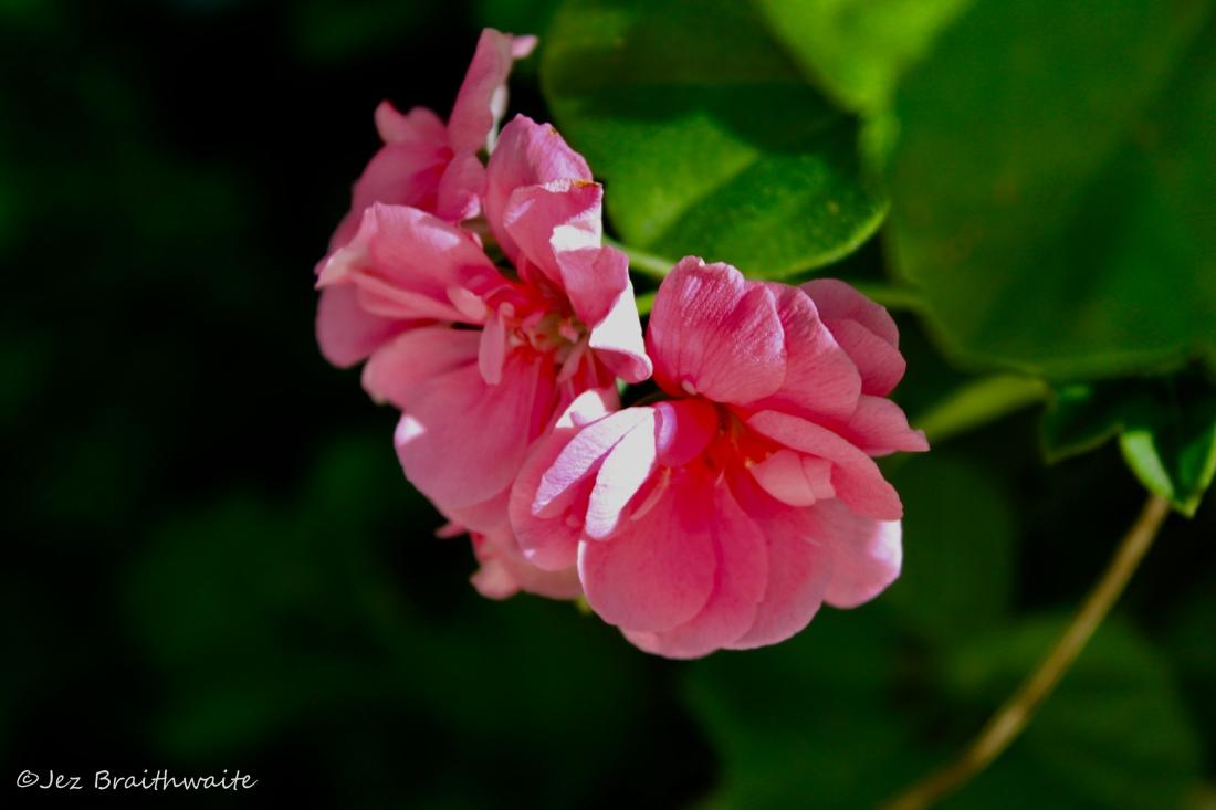 Wild Pink Rose by Jez Braithwaite
