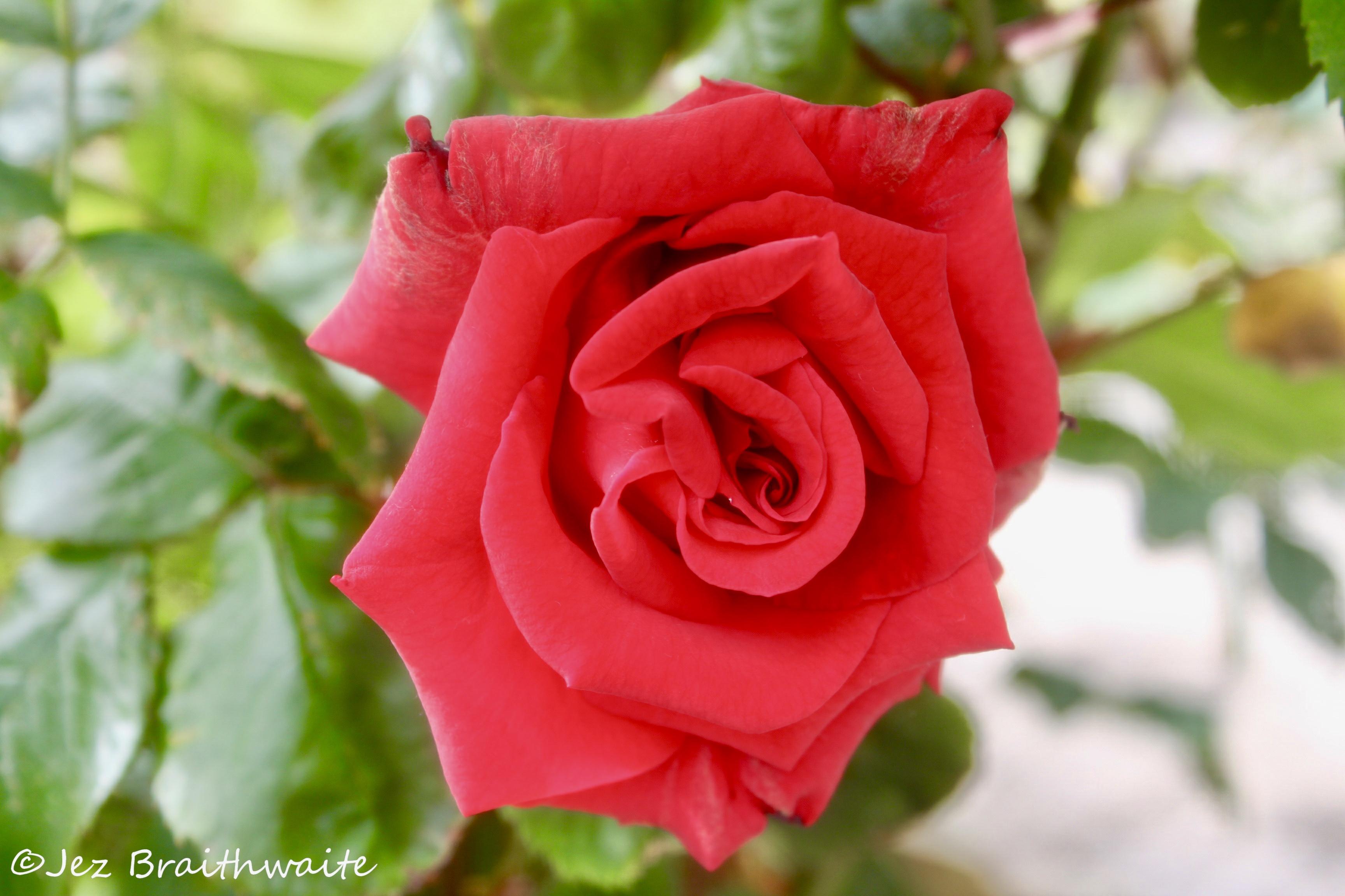 Red rose by Jez Braithwaite
