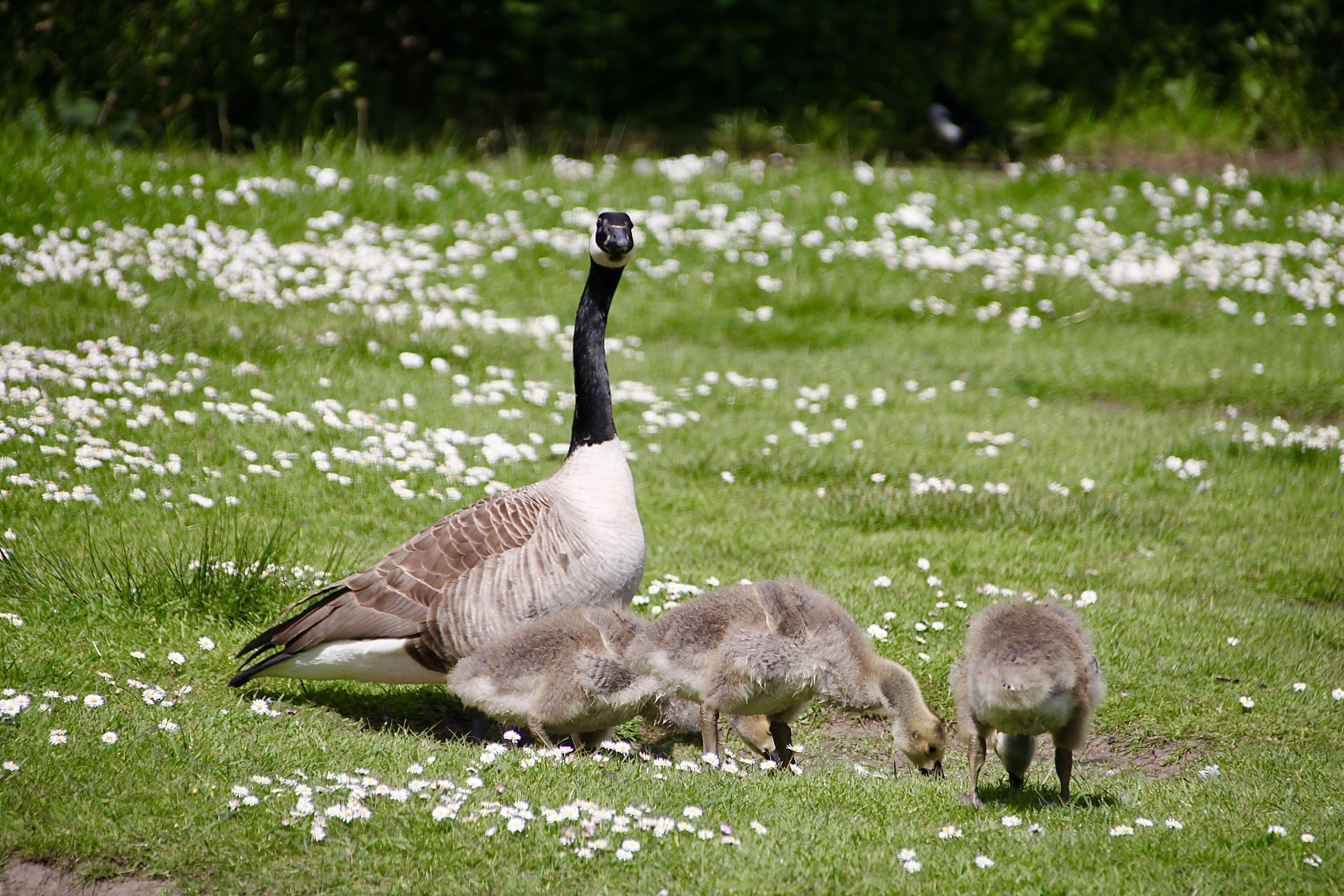 Canadian Goose and Goslings by Jez Braithwaite