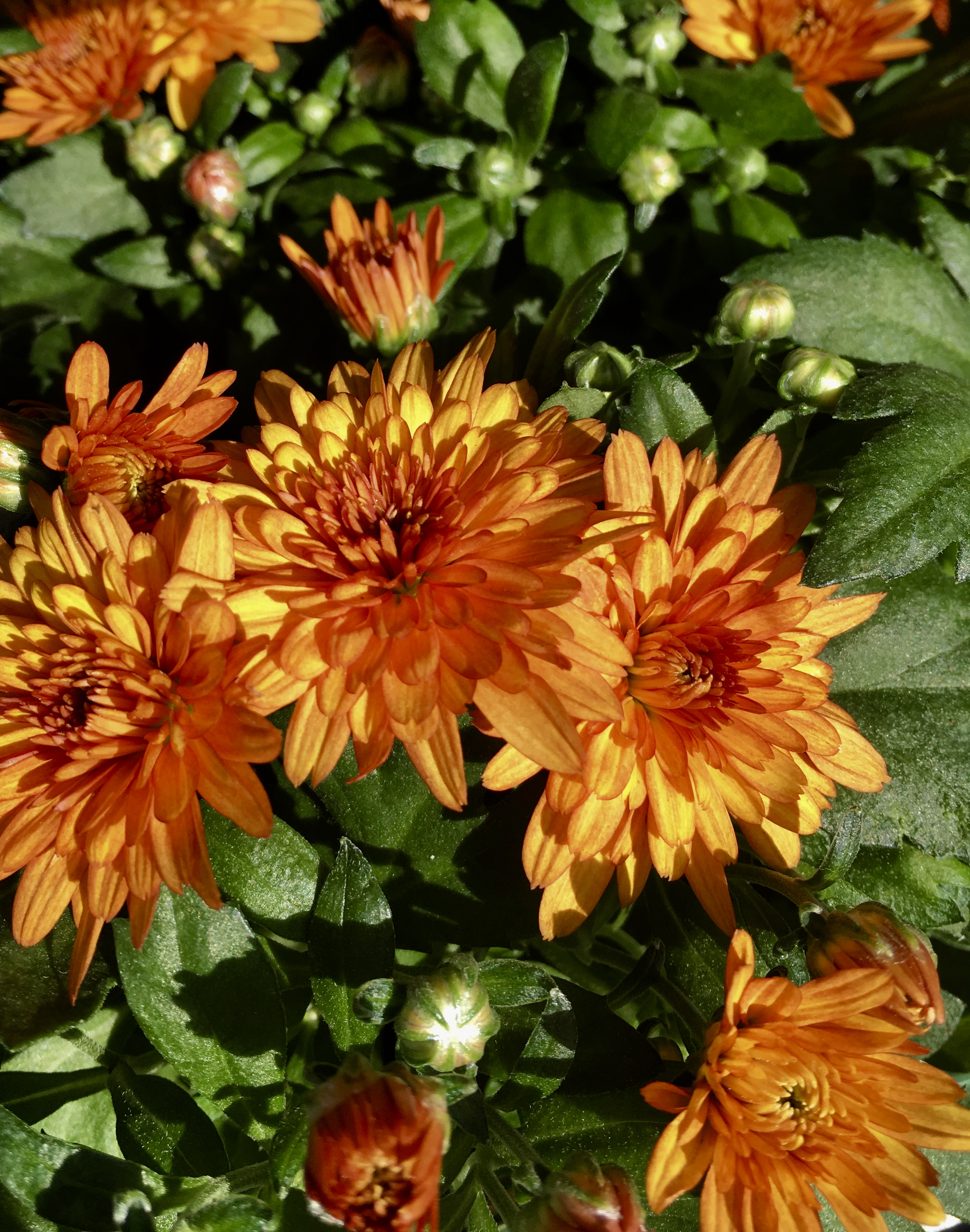 Orange chrysanthemums by Jez Braithwaite