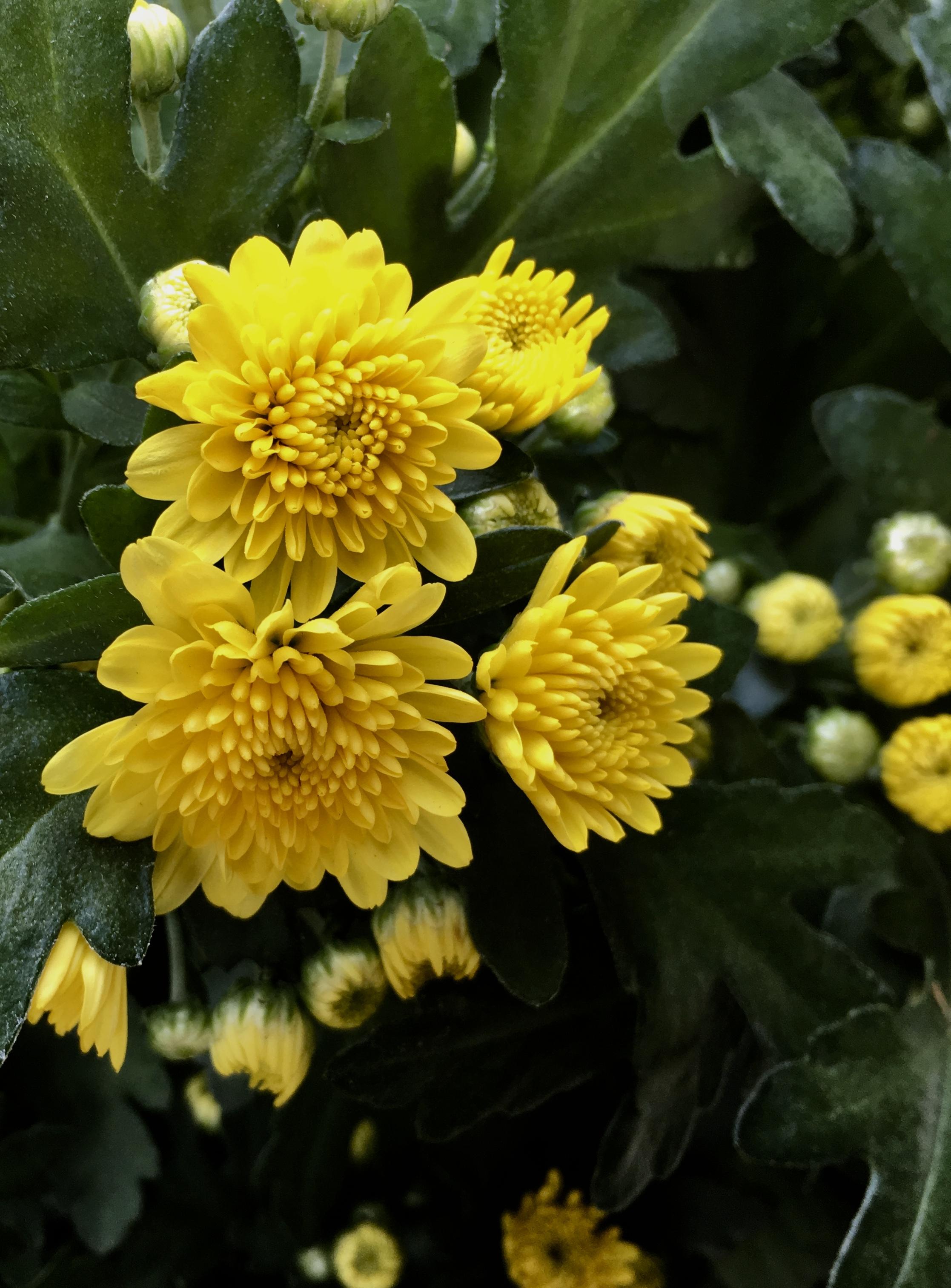 Yellow Chrysanthemum by Jez Braithwaite