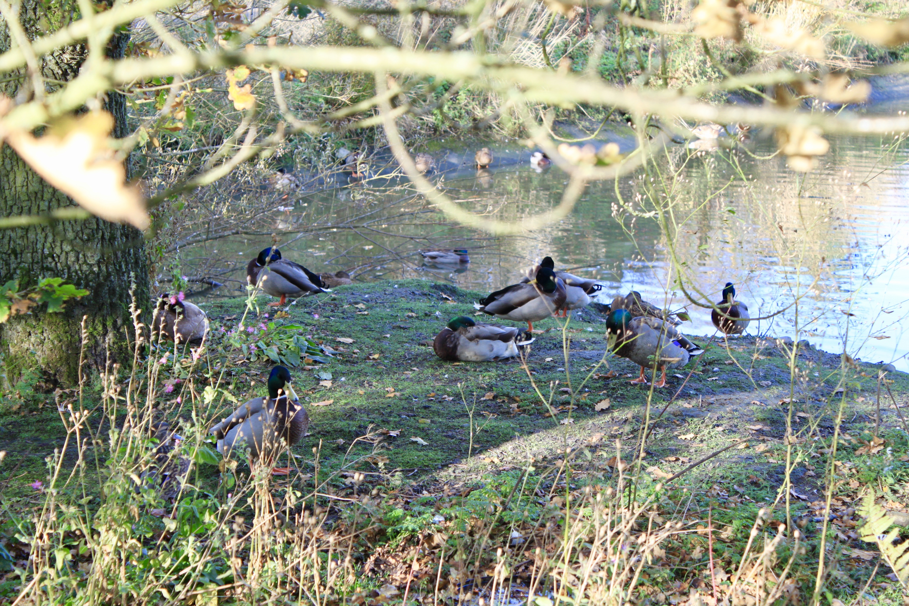 Mallard ducks by Jez Braithwaite at Palacerigg Country Park