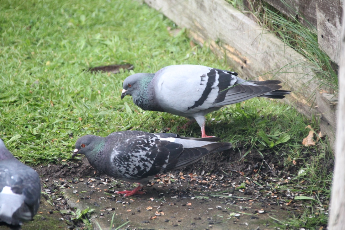 Pigeons line dancing by Jez Braithwaite