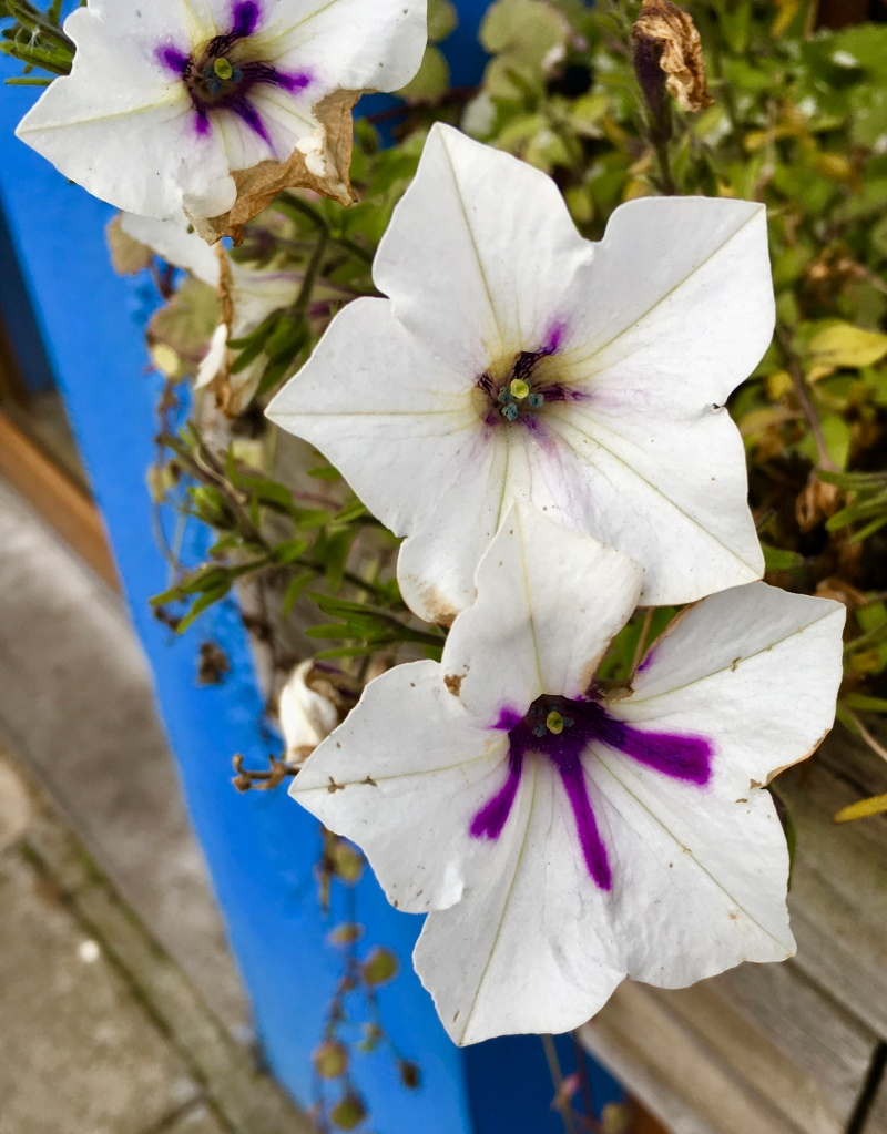 Petunias in Arbroath by Jez Braithwaite