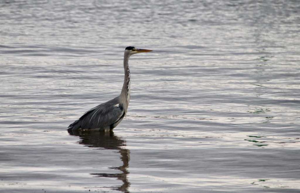 Great Blue Heron in Arbroath Harbour by Jez Braithwaite