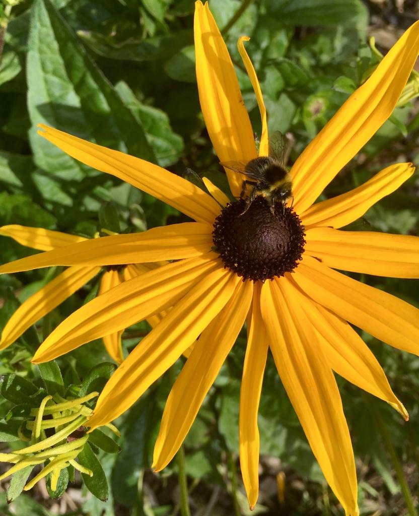 Black eyed susan & bee by Jez Braithwaite