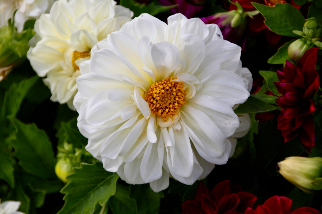 White Dahlia by Jez Braithwaite