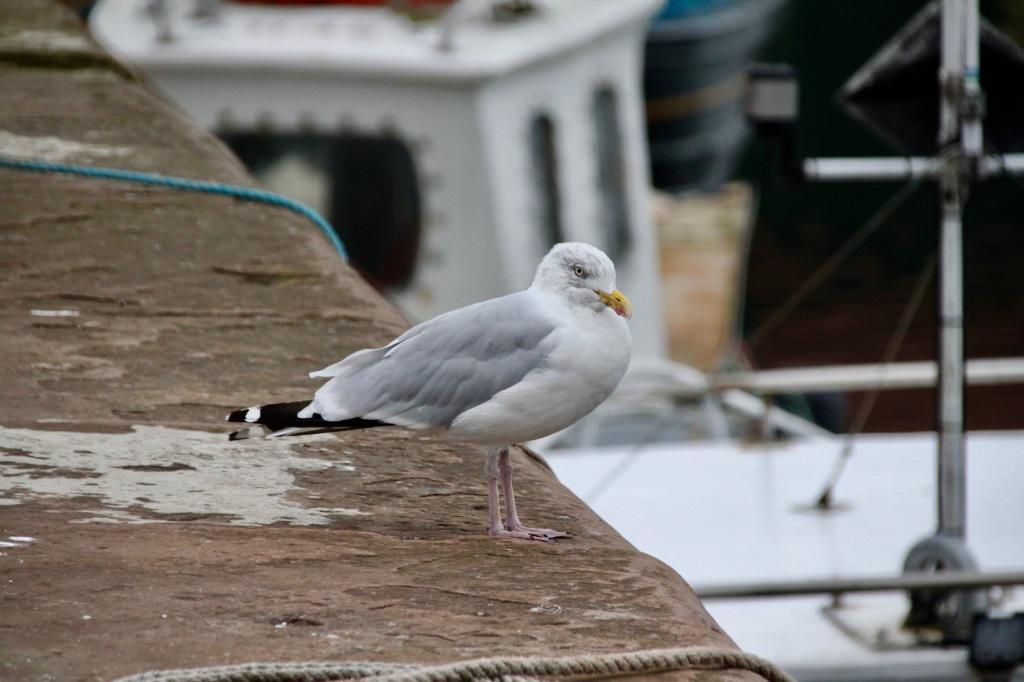 Seagull in Arbroath Harbour by Jez Braithwaite