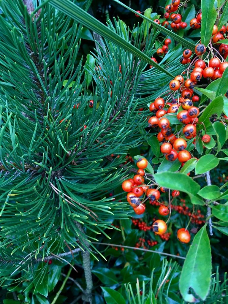 Pyracantha berries by Jez Braithwaite