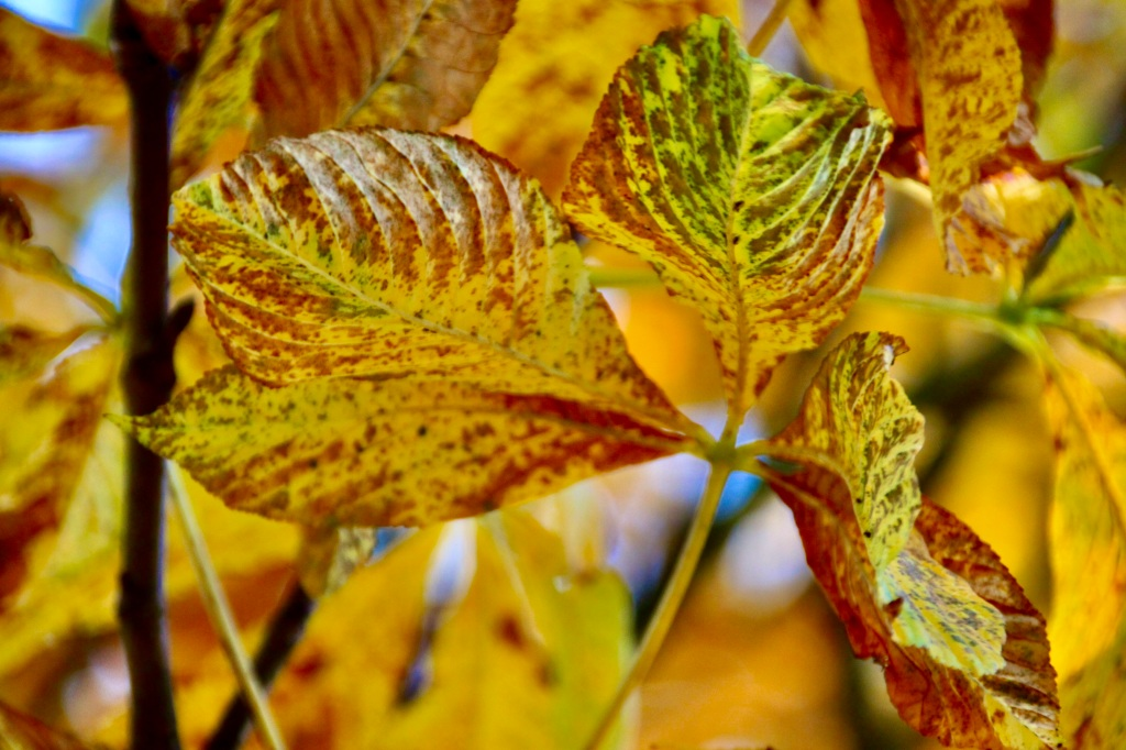 Horse Chestnut Leaves by Jez Braithwaite