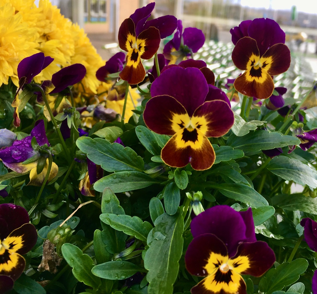 Violas by Jez Braithwaite