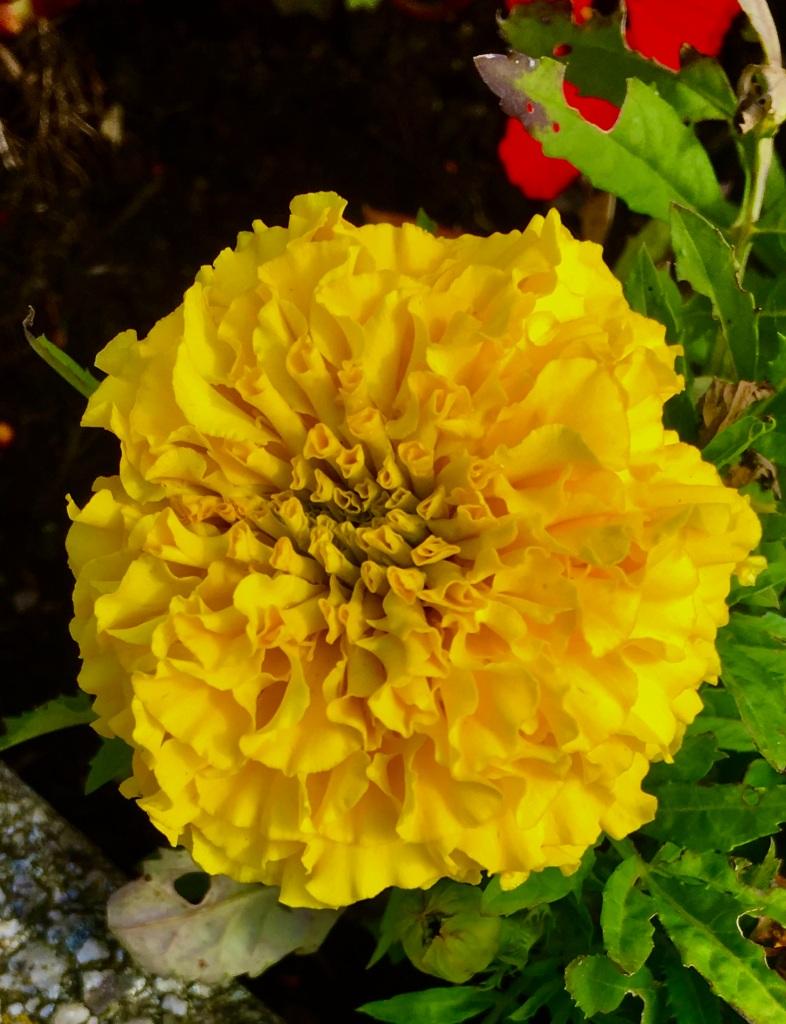 Yellow Marigold by Jez Braithwaite