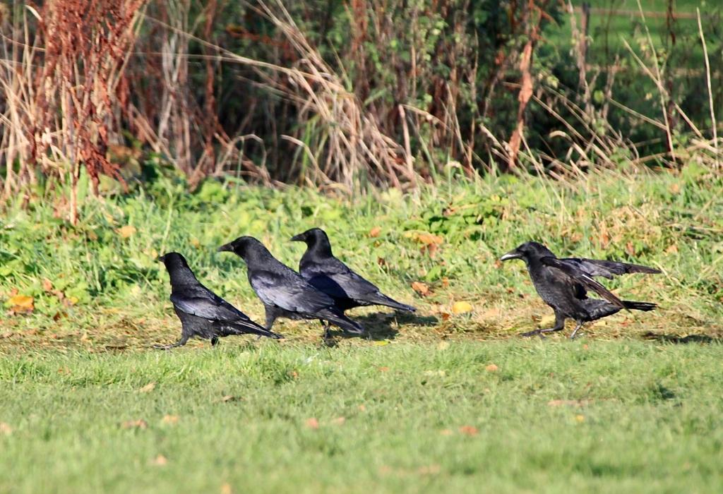Ravens by Jez Braithwaite