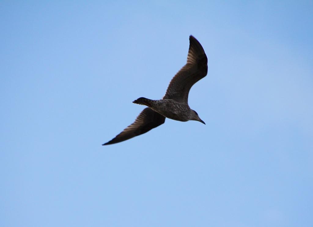 Gull in flight by Jez Braithwaite