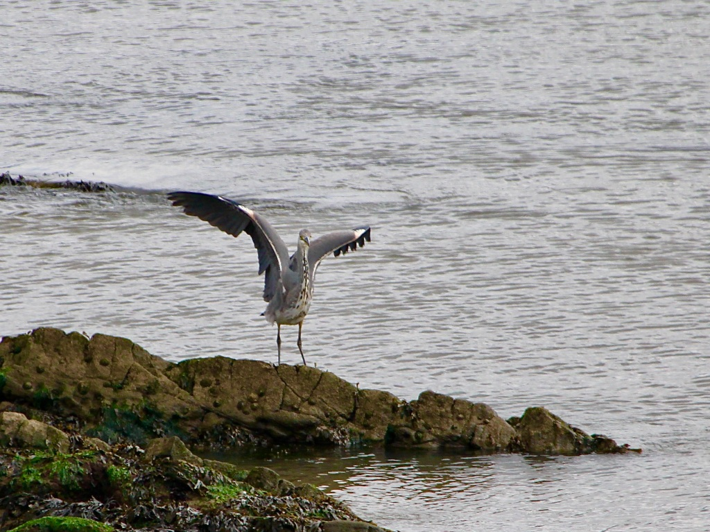 Great Blue Heron at Arbroath by Jez Braithwaite