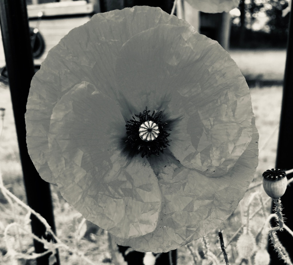 Poppy by Jez Braithwaite