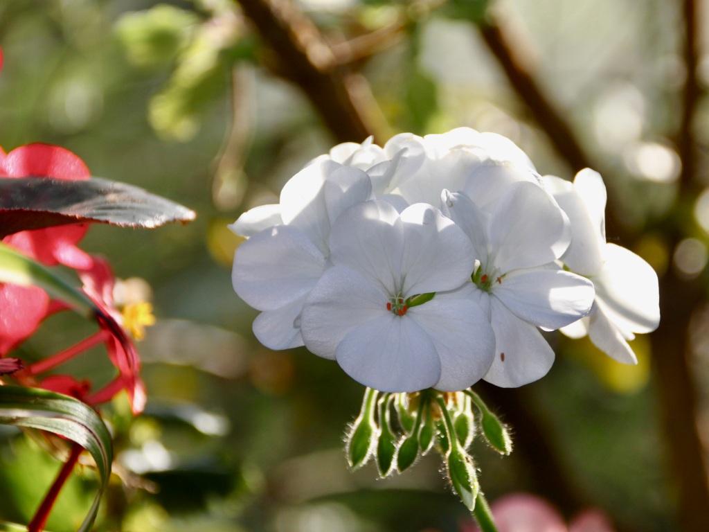 White geranium by Jez Braithwaite