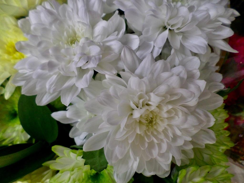 White Dahlias by Jez Braithwaite