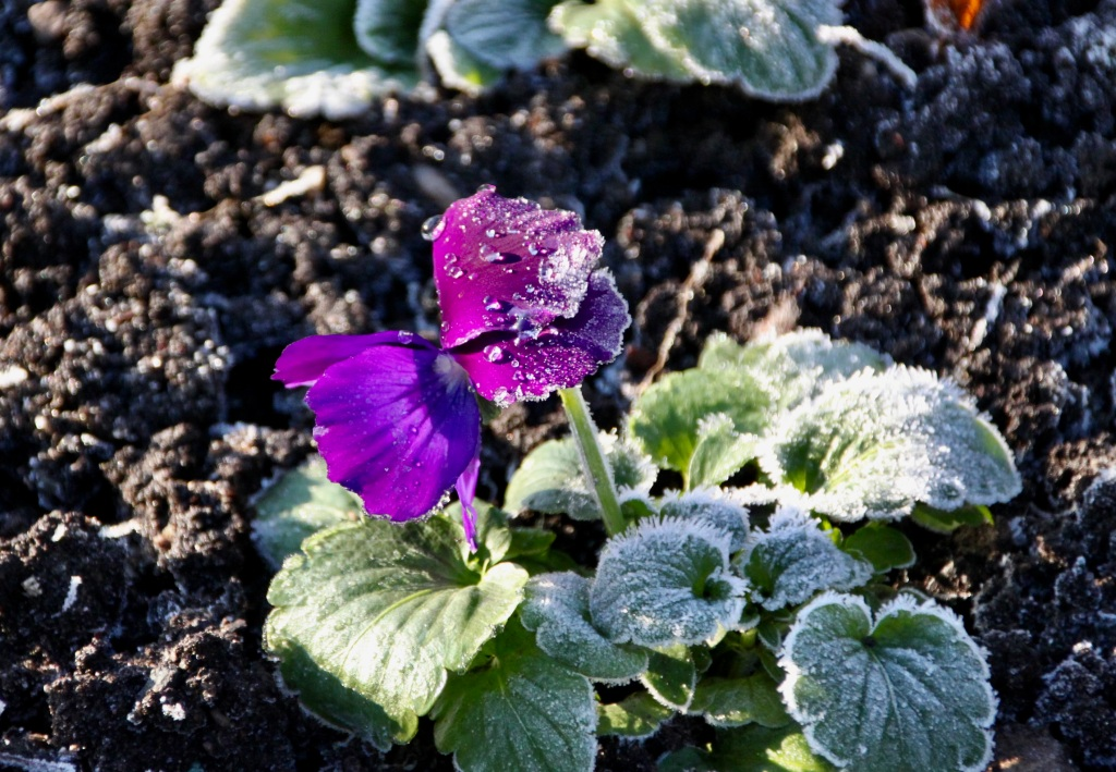 Defrosting purple primrose by Jez Braithwaite