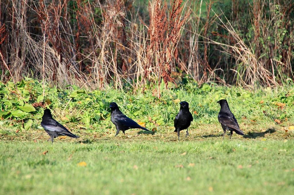 A conspiracy of corbies by Jez Braithwaite