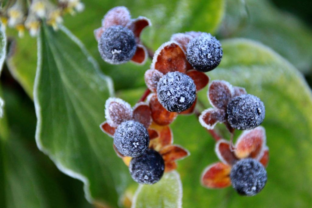 Frosty Berries by Jez Braithwaite