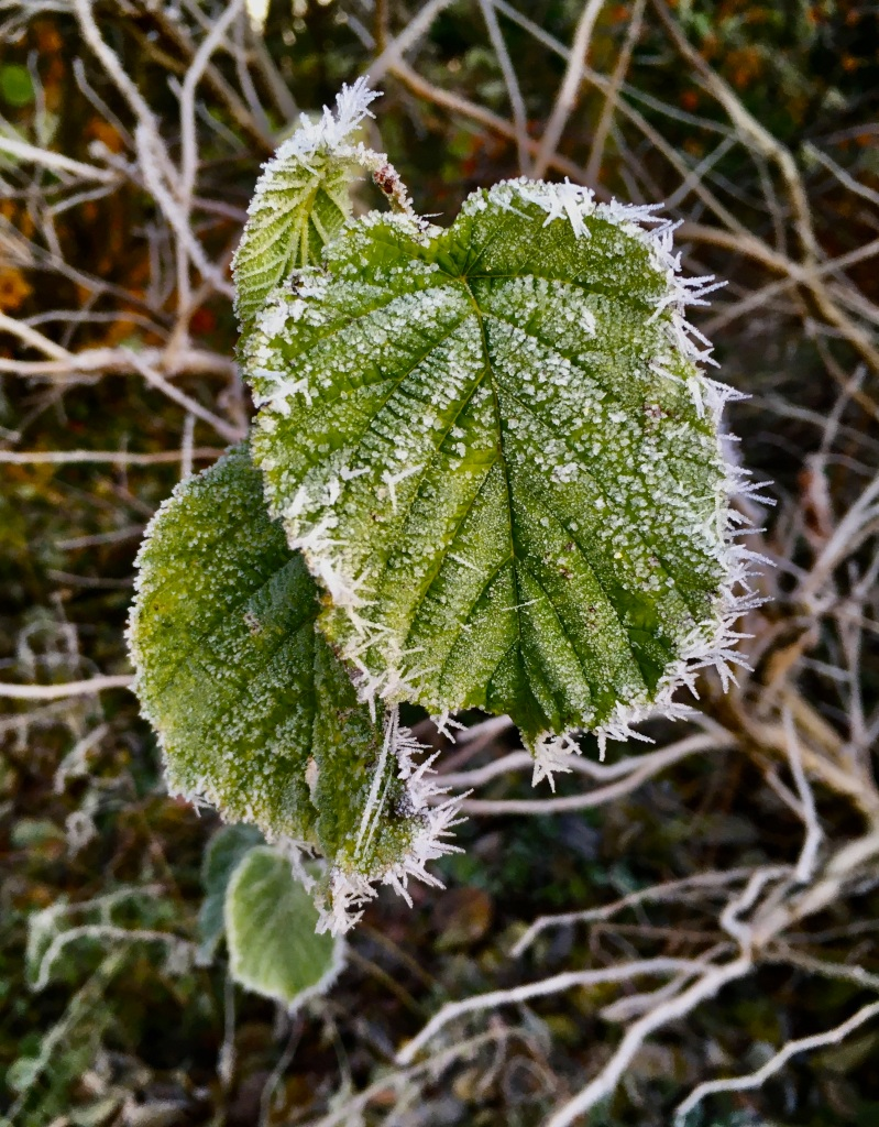 Frost edged leafs by Jez Braithwaite