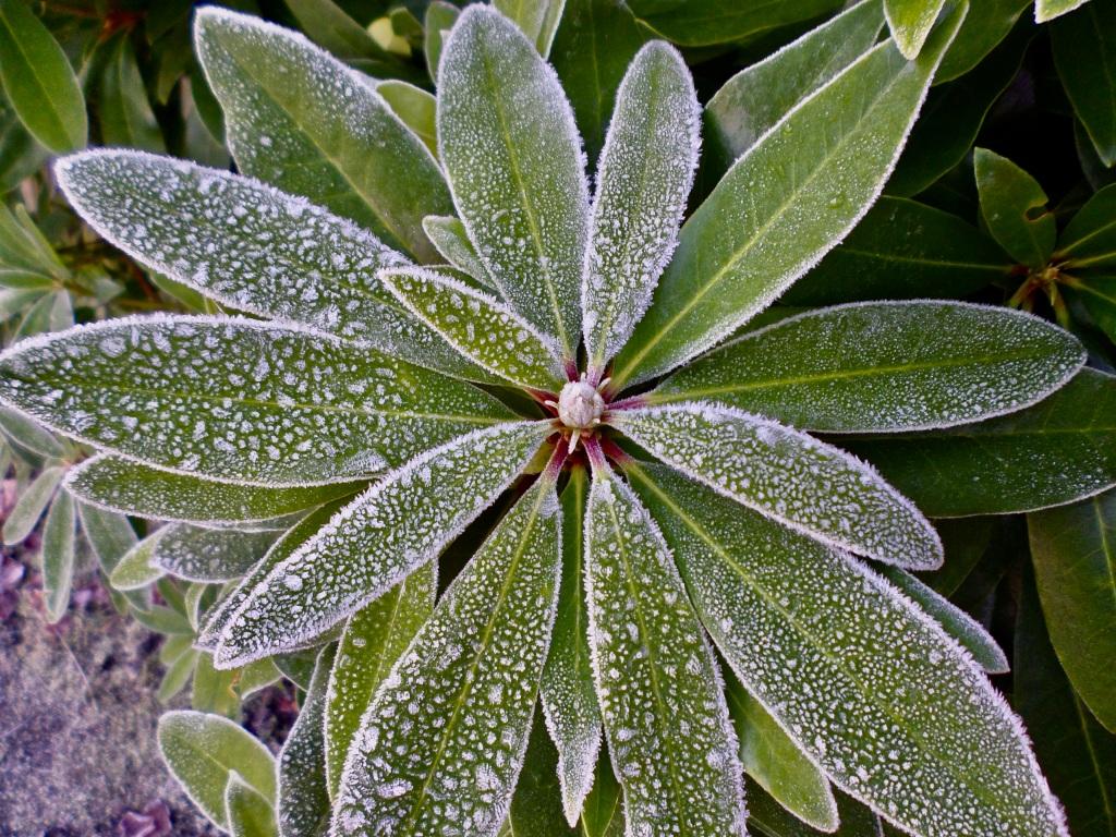 Icy rhododendron leafs by Jez Braithwaite