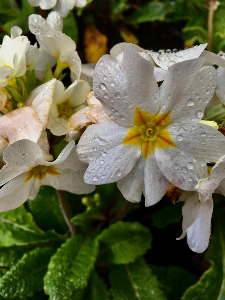White primrose by Jez Braithwaite