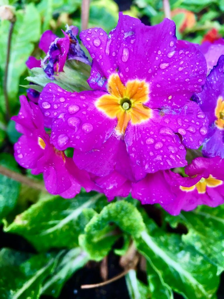 Purple primrose by Jez Braithwaite